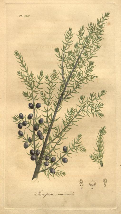 "heaveninawildflower: ""Juniperus communis (Common Juniper). Illustration from 'American Medical Botany' by Jacob Bigelow. Published 1817 by Cummings and Hilliard. Missouri Botanical Garden Biodiversity..."