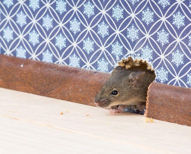 7 astuces naturelles pour vous débarrasser rapidement des souris