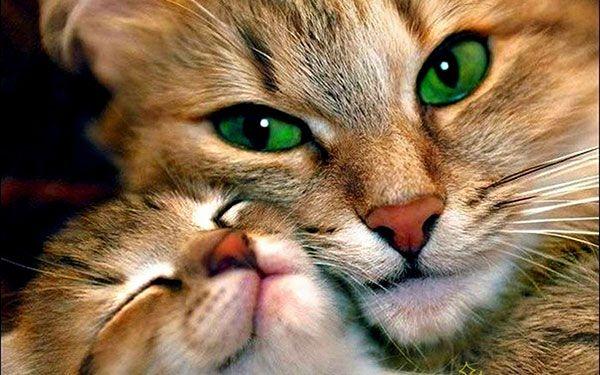 تحميل 100 صورة خلفيات قطط رائعة وعالية الدقة مداد الجليد In 2020 Cute Cats Animals Cute Animal Videos
