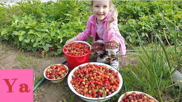 ВЛОГ Едем собирать КЛУБНИКУ VLOG We're going to collect strawberries