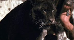 Some researchers say that mystery black panthers in America represent a surviving hidden population of a prehistoric cat, Panthera atrox, an animal that is also used to explain sightings of American Lions.
