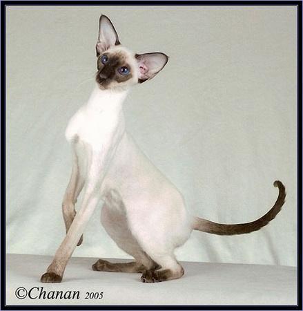Oriental Cat Breeders Illinois