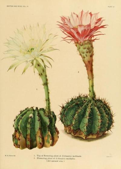 old botanic illustration of cactus flowers
