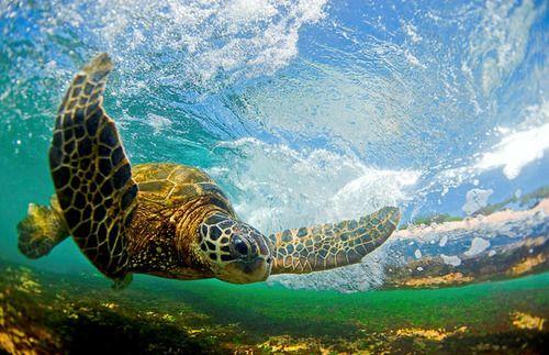 tartaruga marinha |