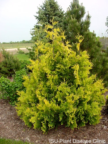 Evergreen Shrub With  Letters