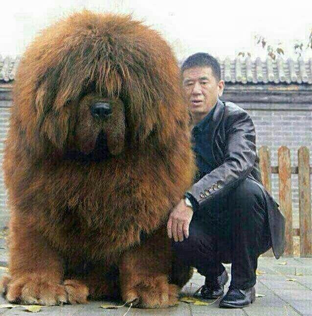 RED TIBETAN MASTIFF. The world's largest dog.