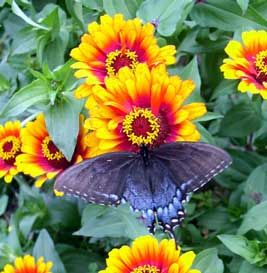 Growing Zinnia varieties to attract butterflies from the article Why I keep growing zinnias form growveg.com