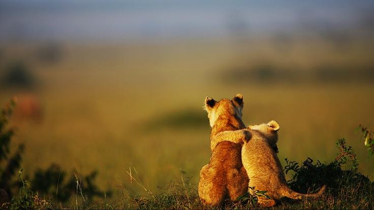 Bebê leão abraça irmão mais velho na savana africana