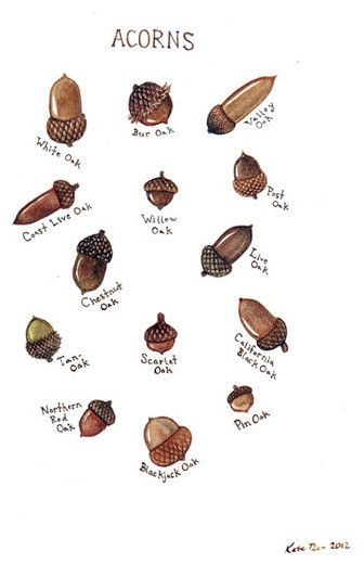 Autumn Equinox:  Acorns Field Guide Chart, by Kate Dolamore Art.
