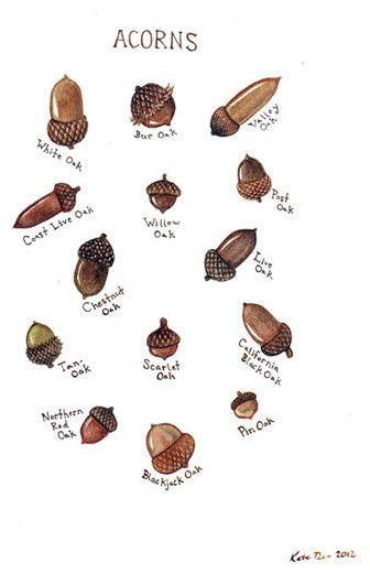 Acorns Field Guide Chart