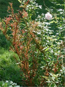 Good general information about treating and preventing rose diseases from the University of Illinois Extension Office.