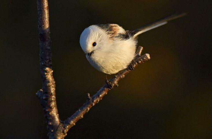 Pyrstötiainen, Aegithalos caudatus - Linnut - LuontoPortti