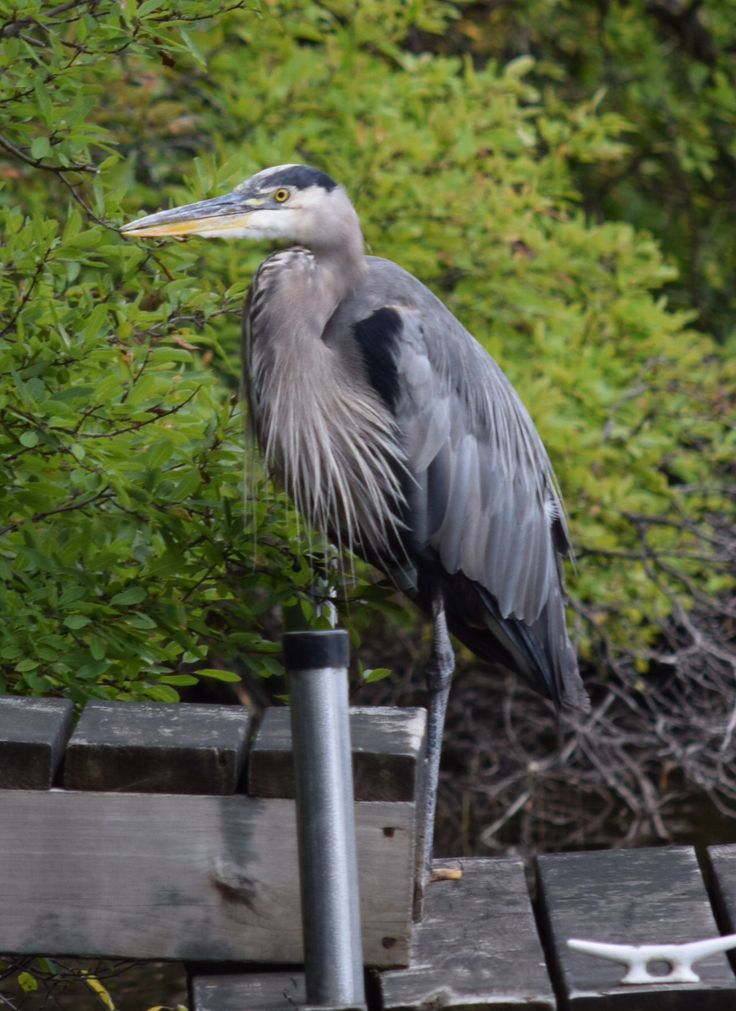 this blue heron loves sitting on dock next door for hours! Pinned by girlfriendgetaway.ca