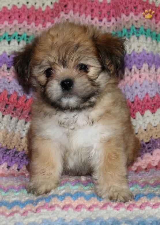 Maddie - Shichon Puppy for Sale in Narvon, PA | Lancaster Puppies