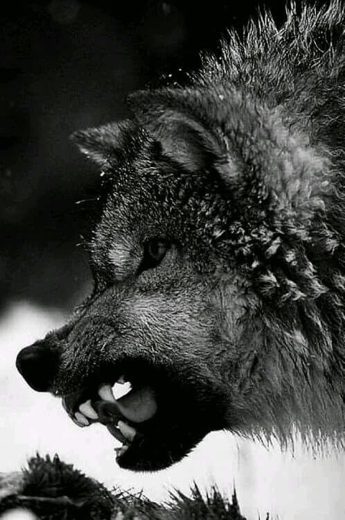 El lobo, que es un depredador, se halla en una gran cantidad de ecosistemas. Este amplio territorio de hábitat donde los lobos medran refleja su adaptabilidad como especie, ya que puede vivir en bosques, montañas, tundras, taigas y praderas