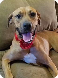 Hanover, PA - Boxer/Mastiff Mix. Meet Gem, a dog for adoption. http://www.adoptapet.com/pet/16874579-hanover-pennsylvania-boxer-mix