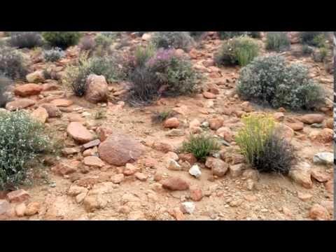Eriospermum paradoxum ssp