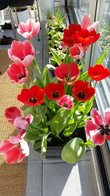 Tulipaner i altan!
