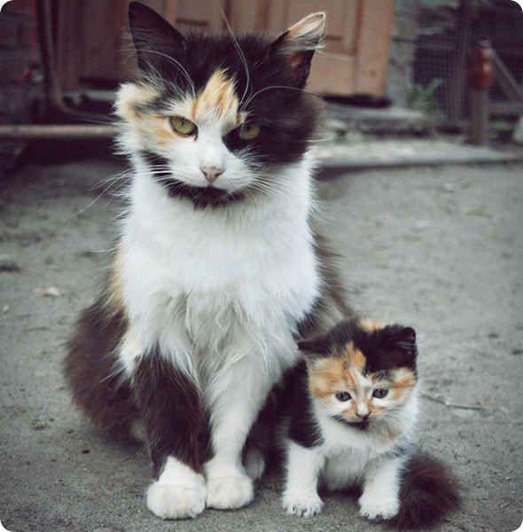 chat et chaton ecaille de tortue