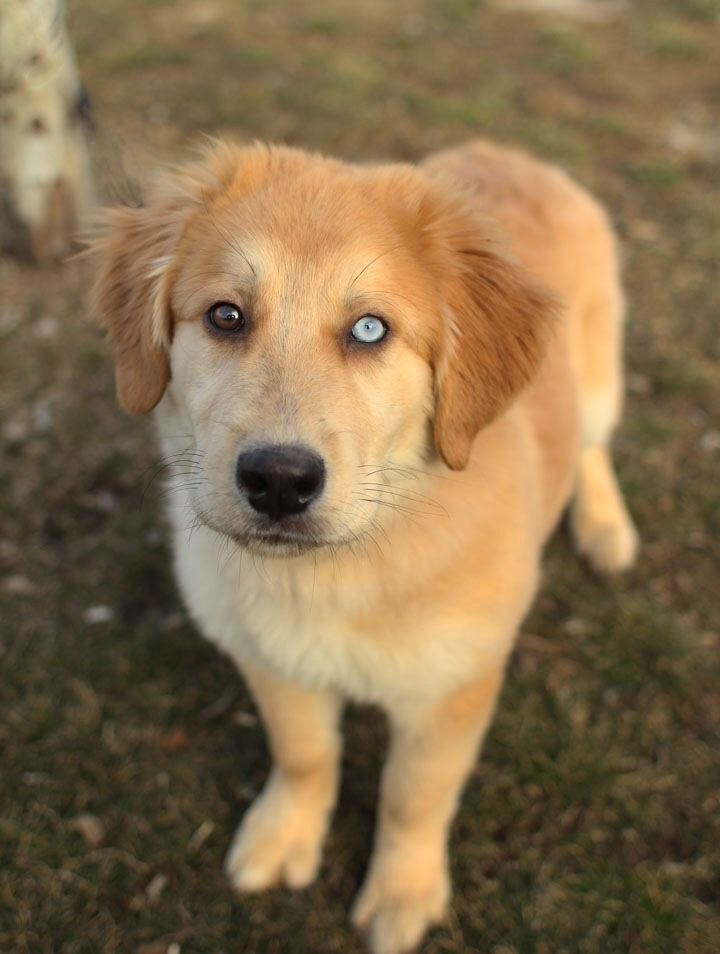 Husky / Golden Retriever Mix How cool would it be to have