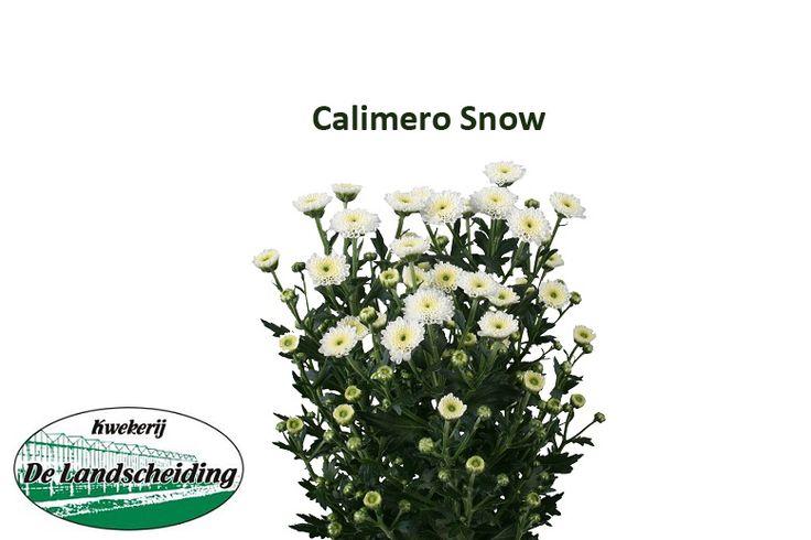 Calimero snow
