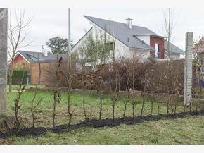 fertig gepflanzte Buchenhecke