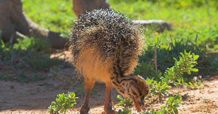 Cómo cuidar avestruces bebé. Cómo cuidar avestruces bebés. La crianza de avestruces se está volviendo popular en Estados Unidos. Algunas personas crían avestruces por la carne, mientras que otras lo hacen por el aceite que se utiliza en los cosméticos o por las plumas. Si deseas entrar en la crianza de avestruces tienes que aprender cómo cuidar un avestruz bebé.