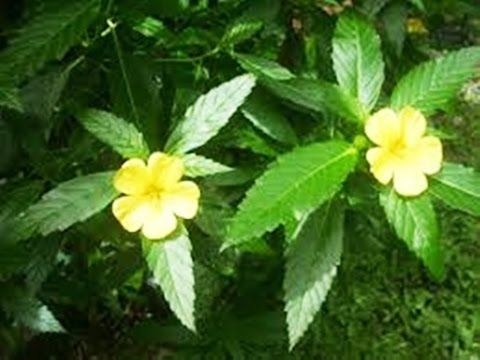 Weight Loss Benefits of Damiana Tea-How to lose Weight Naturally Weight Loss Benefits of Damiana Tea-How to lose Weight Naturally Damiana empowers free stools which may help advance inner purifying. Be that as it may damiana has picked up the most consid