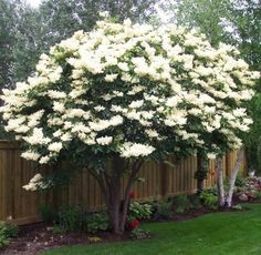 """Ivory Silk Japanese Lilac tree"""
