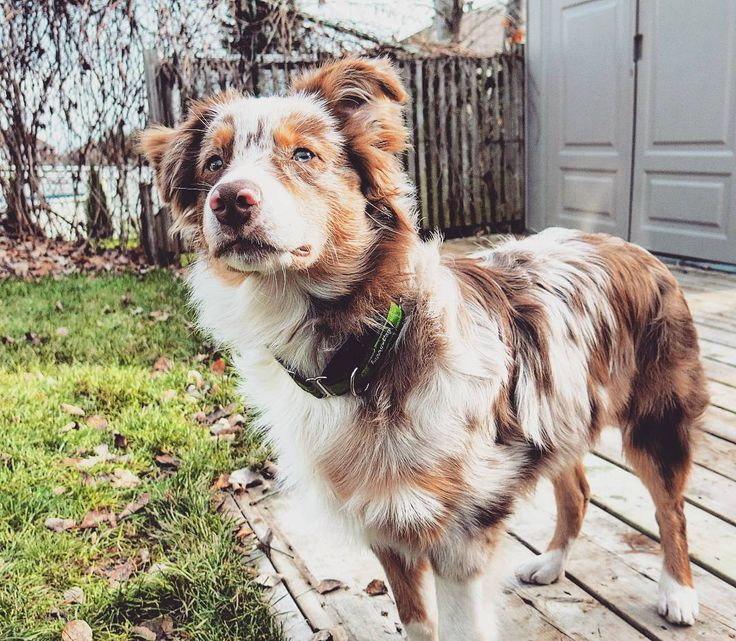THIS palette but also with the gray/black in my blue merle dog too - the colors in my dogs!!!!!!!    Inspiration for Home Paint and Color Scheme.  Australian Shepherd Red Merle