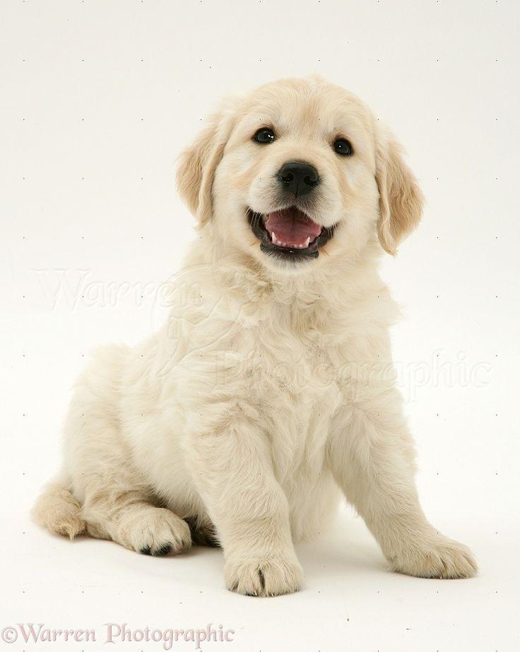 57 best golden retriever puppies images on pinterest for Golden retriever puppies information