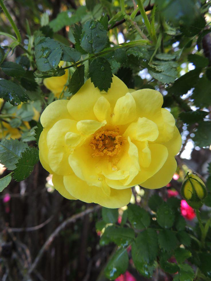 Yellow wild rose | Picture ideas | Pinterest