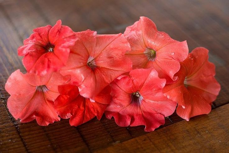 African Sunset Petunia AAS - Pinetree Garden Seeds - Flowers