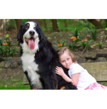 25 Best Ideas About Bernese Mountain Dog Breeders On