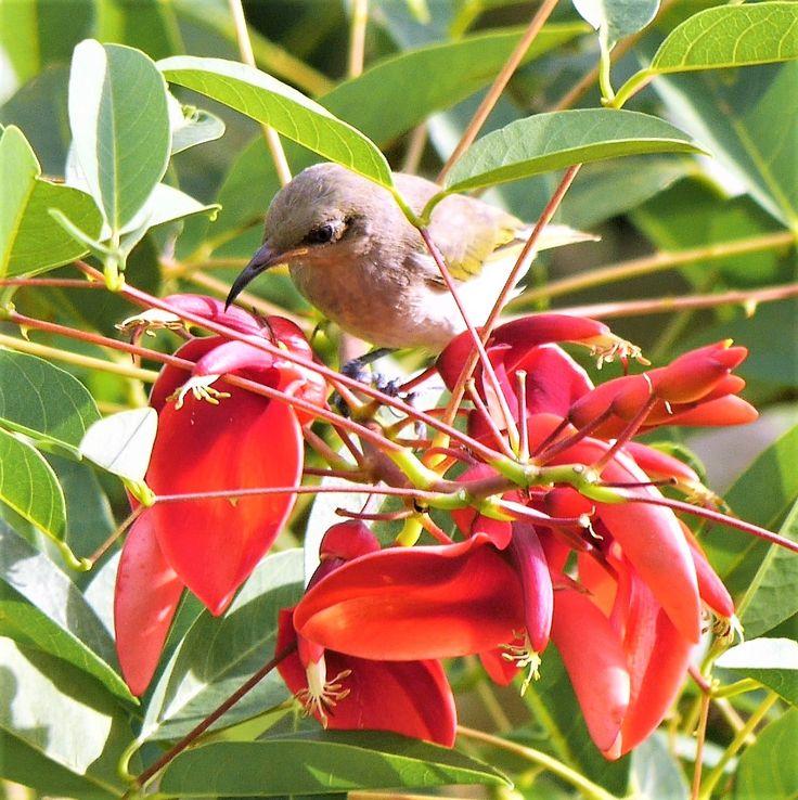 Little Brown Honeyeater on Coral Tree flowers