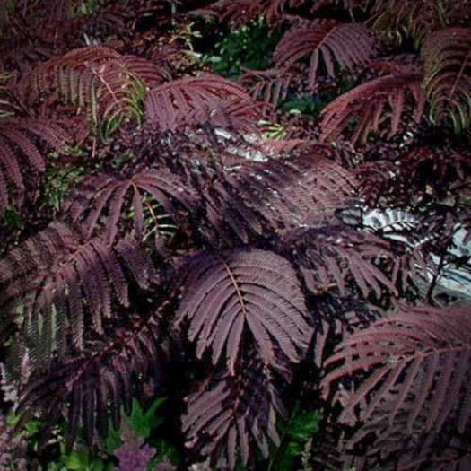 Albizia julibrissin 'Chocolate Fountain' - Trees - Avant Gardens Nursery & Design