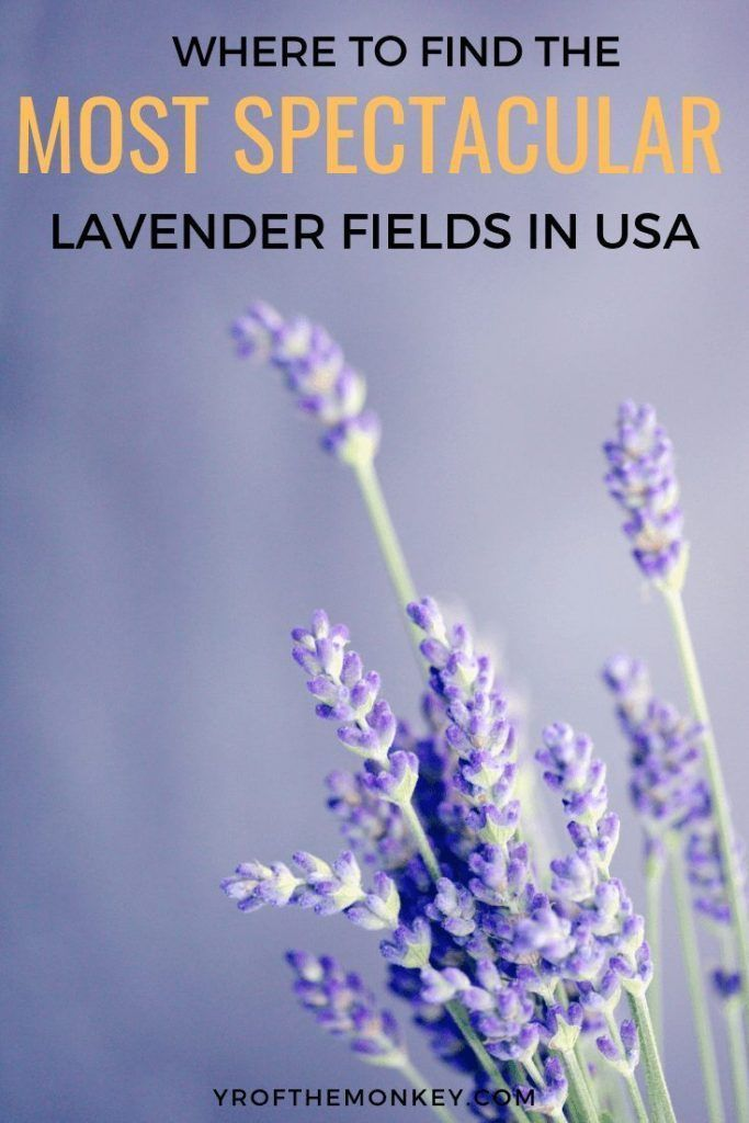 Lavender Fields In Usa Top Spots For The Most Beautiful Fields