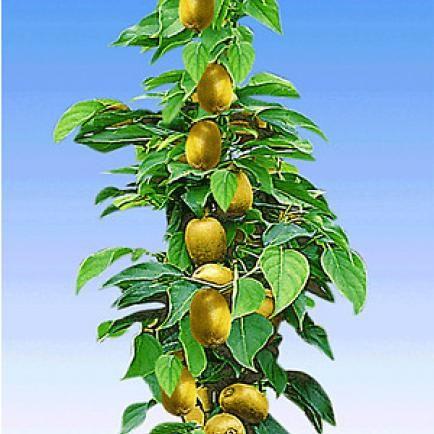 """Säulen-Kiwi """"Issai®"""",1 Pflanze"""