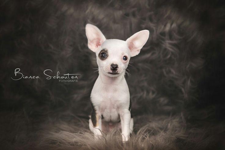 Chihuahua 11 weeks old