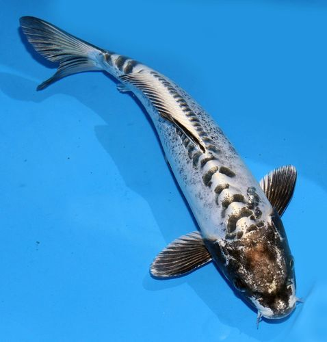 Live koi pond fish 11 12 white kin kikokuryu black head for Black and white coy fish