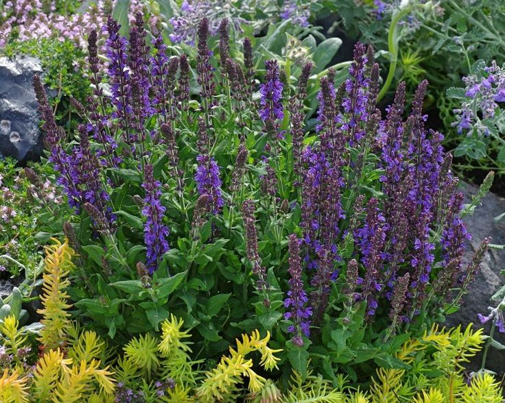 Salvias: Plant Care and Collection of Varieties - Garden.org