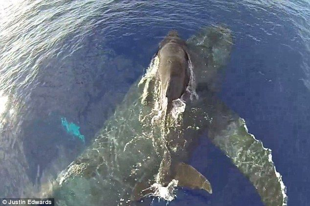 Bird's-eye view: The footage was taken by Hawaii-based drone photographer Justin Edwards, who spotted the whales while boating
