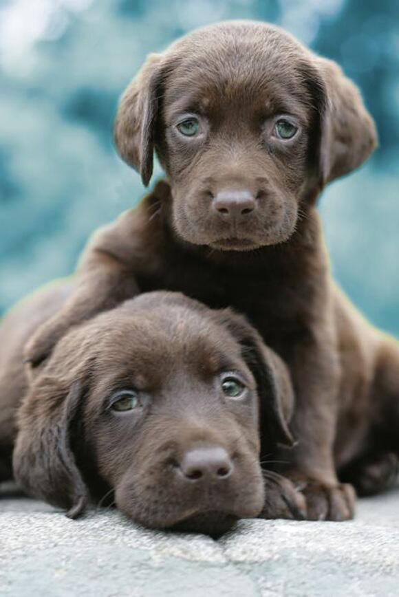 Two loveable chocolate Labrador puppies gaze adoringly at the camera in this