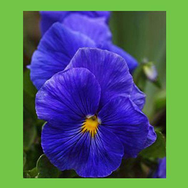 100 PCS big blue pansy graines pétales en pot bonsaï jardin cour Yantai(China (Mainland))