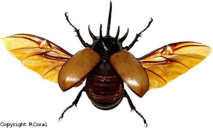 Eupatorus gracilicornis (Five-horned Rhinoceros Beetle ...