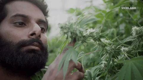 11 conclusiones de uno de los informes más detallados sobre los usos medicinales de la marihuana
