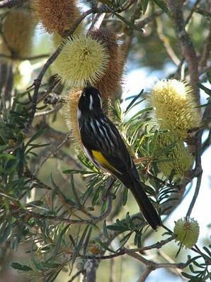 Banksia marginata tree honey eater
