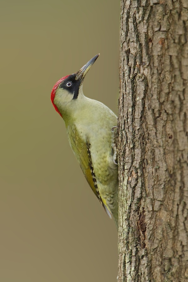 Birds : Green Woodpecker - I saw a pair of these at the weekend. They were beautiful