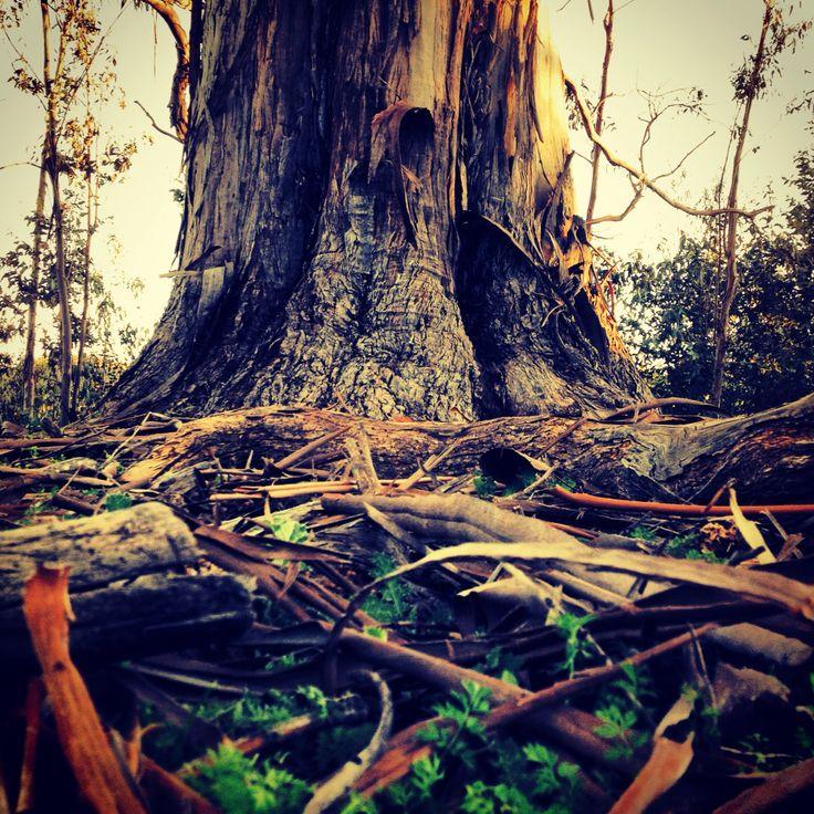 Eucaliptus chile