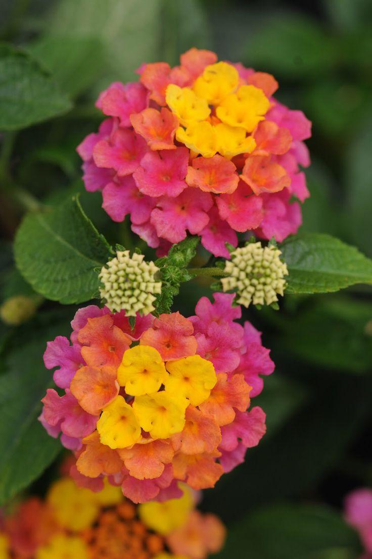 Lantana camara Lantana flower, Lantana, Plants